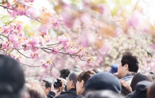 東京のソメイヨシノの開花から満開までの最長日数は何日?