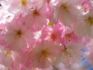 短い時期だからたくさん楽しみたい!!桜の花の咲く順番って?