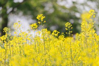 どの菜の花も食べれる?そこら辺の道端にある菜の花は食べられる?