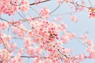 桜のつぼみが「ほころぶ」という言葉の意味、分かりますか?
